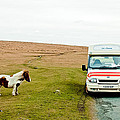 Dartmoor Pony Fancies An Ice Cream by Simon Clare