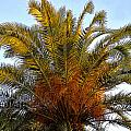 Date Palm by David Lee Thompson