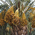 Date Palm In Fruit by Dominic Piperata