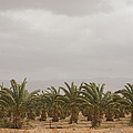 Date Palm Trees In An Orchard by Taylor S. Kennedy
