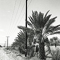 Date Palms On A Country Road by Dominic Piperata