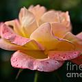Day Breaker Floribunda by Susan Herber