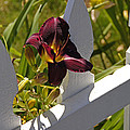Day Lily And White Fence II by Mick Anderson
