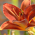 Day Lily by Donna Greene