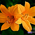 Daylily Duo by Susan Herber