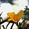 Daylily Sparkle by Missee Jo