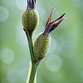 Dazzling Canna Seed Pods by Kathy Clark