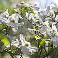 Dazzling Sunlit White Spring Dogwood Blossoms by Kathy Clark