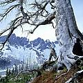 Dead Spruce In Old Forest Fire, Nabob by David Nunuk