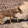 Death Valley Coyote by Mike  Dawson