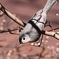 Decked Out - Tufted Titmouse by Travis Truelove