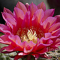 Deep Pink Cactus Flower by Jim And Emily Bush