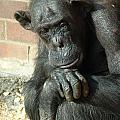 Gorilla Deep Thoughts by Ian Mcadie