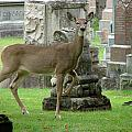 Deer Among The Headstones by Bruce Ritchie