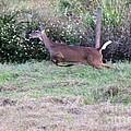 Deer At Viera by Jeanne Andrews