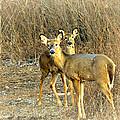 Deer Duo by Marty Koch