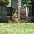 Deer In Cemetery by Bruce Ritchie