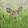 Deer In Hiding by Art Whitton