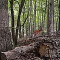 Deer In The Forest by Carol  Bradley