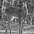 Deer In The Forest by Susan Leggett