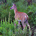 Deer In The Marsh by Nancy Griswold