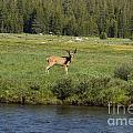 Deer In Tuolumne Meadow by Jim And Emily Bush