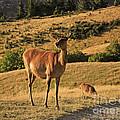 Deer On Mountain 2 by Pixel Chimp
