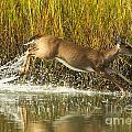 Deer Running Through The Salt Marsh by TJ Baccari
