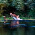 Deer Splash by Edward Peterson
