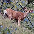 Deer Standing In Wildflowers by Athena Mckinzie