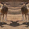 Deer Symmetry  by Douglas Barnard