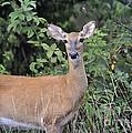 Deer Watch by Nava Thompson