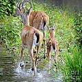 Deer Running In Stream by Nava Thompson