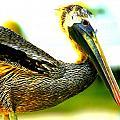 Deerfield Pelican by Jacob Klaus