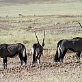 Defensive Oryx Namibia by David Kleinsasser