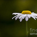 Defiant Daisy by Clare Bambers