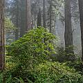 Del Norte Redwoods by Greg Nyquist