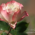 Delany Sister Rose by Living Color Photography Lorraine Lynch