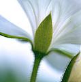 Delicate Petals by Lisa McLean Adams