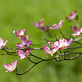 Delicate Pink Dogwood Blossoms by Kathy Clark