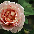 Delicate Pink Rose by Mary Machare