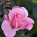 Delicate Pink Rose by Teresa Blanton