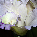 Delicate Purple Orchid by Phyllis Denton