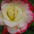 Delicate Rose by Michelle Cruz