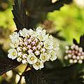 Delicate Spring Bloom by Elaine Mikkelstrup