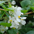 Delicate White Flower by Jennifer Ancker