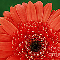 Delightful Gerber Daisy by Inspired Nature Photography Fine Art Photography