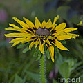 Denver Daisy 2 by Donna Brown