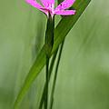 Deptford Pink - Dianthus by Thomas J Martin