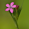 Deptford Pink by JD Grimes